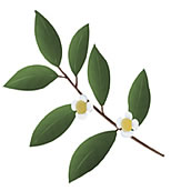 Polyphenon E, green tea extract is made from decaffeinated green tea ...